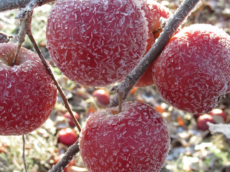 Замороженные яблоки для ледяного сидра