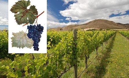 Виноградники Хванчкара