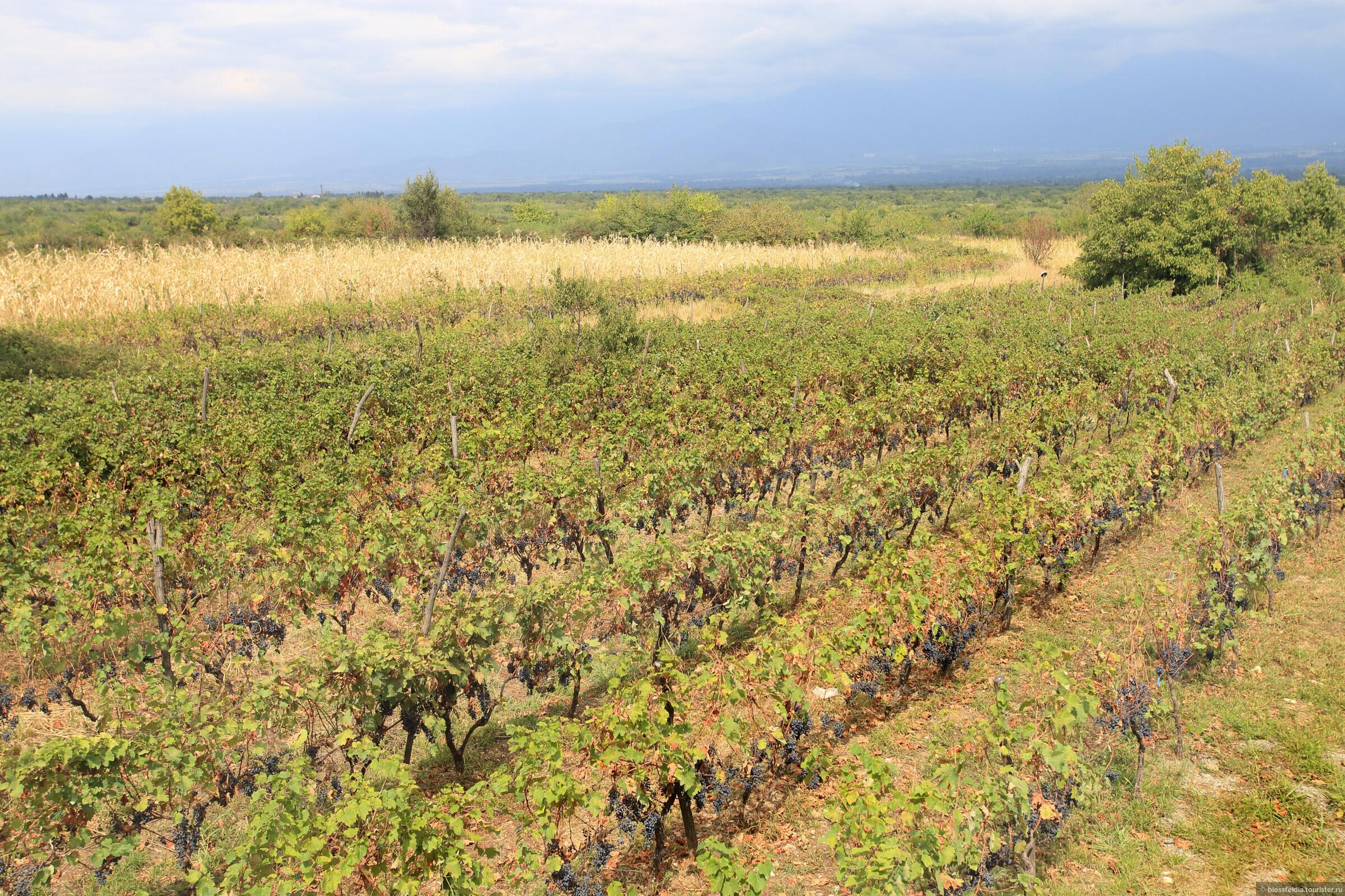 Виноградники Мукузани