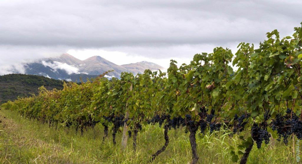 Виноградники Киндзмараули