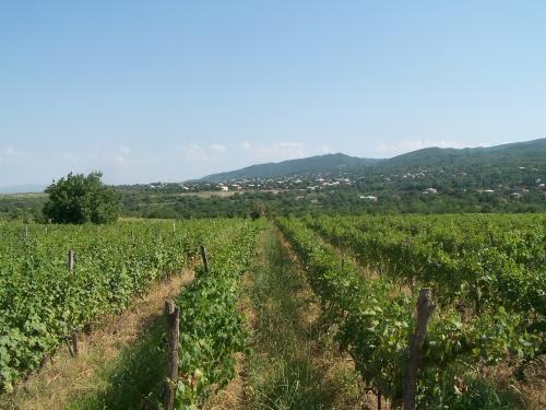 Виноградник Твиши