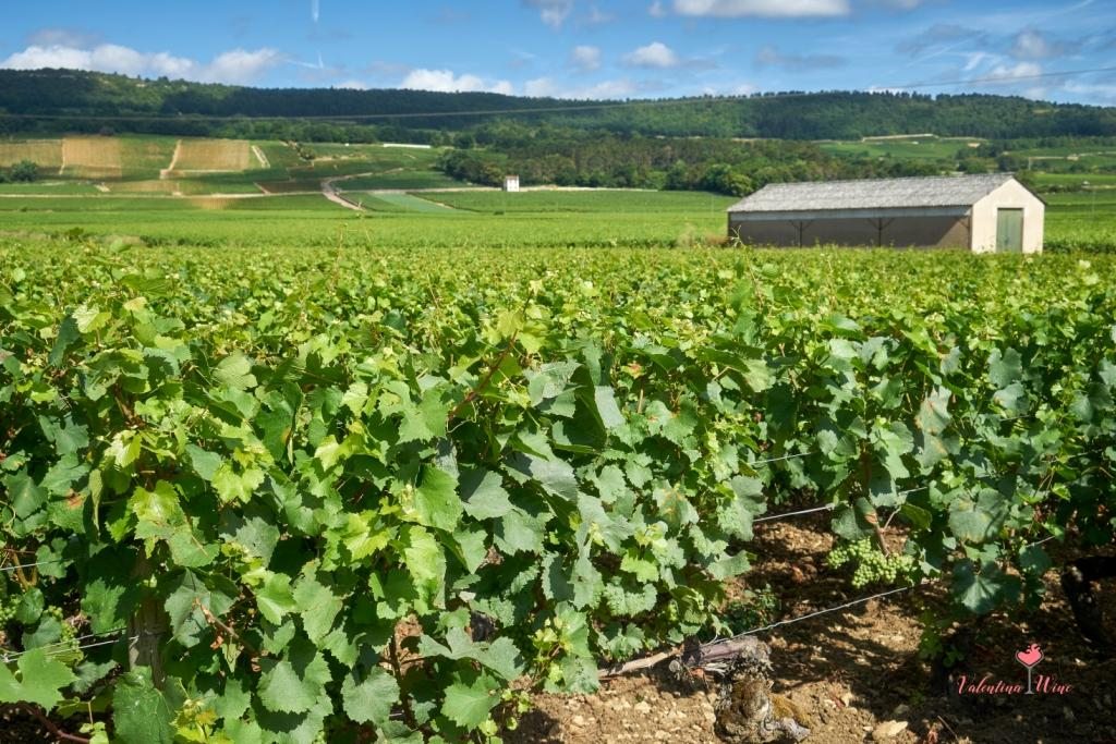 Виноградник в Бургундии