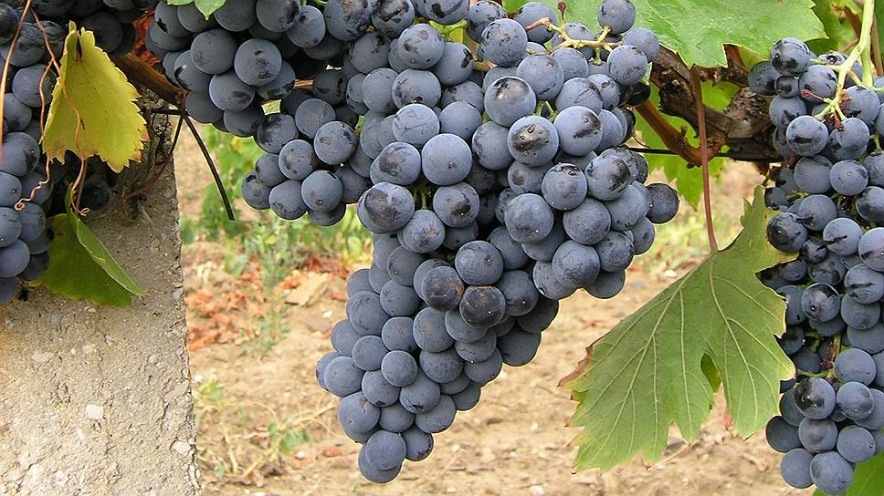 Сорт винограда Джеват Кара