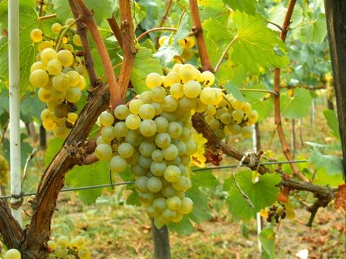 Гроздь винограда Шардоне