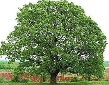 Американский дуб