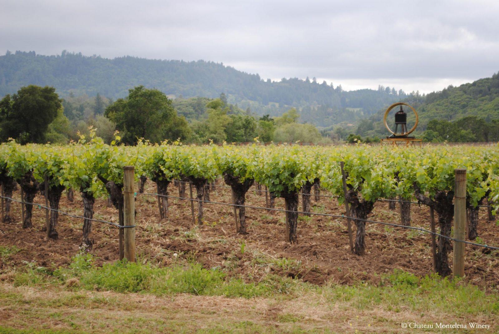 Шардоне на виноградниках Шато Монтелена