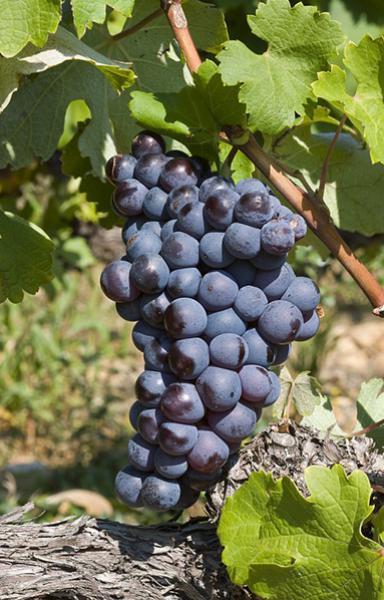 Виноград Шираз фото