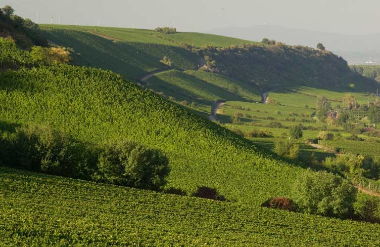 Виноградники региона Рейнхессен