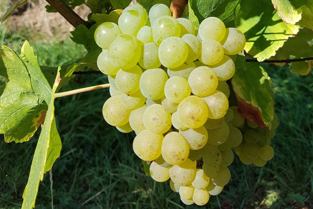 Сорт винограда Сильванер