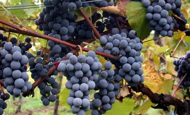 Сорт винограда Гамэ