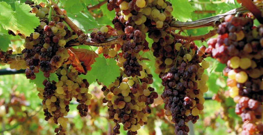 Заизюмленный виноград методом passerillage
