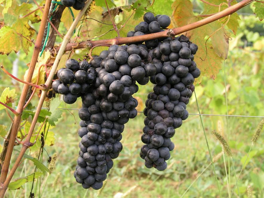 Сорт винограда Трибидраг