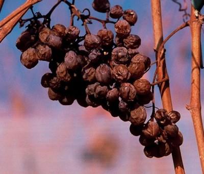 Концентрированные ягоды Пти Мансенг