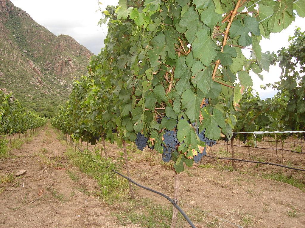 Мальбек на предгорных виноградниках Аргентины