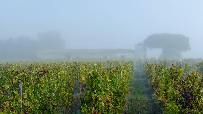 Туман над виноградниками Сотерна