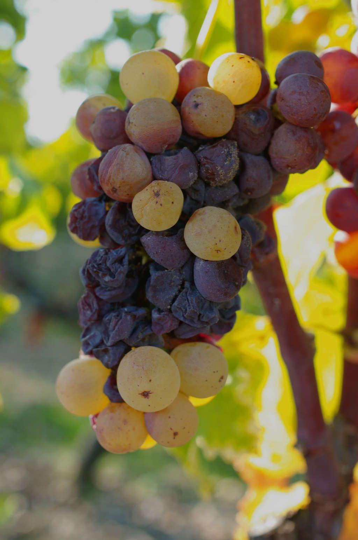 Неравномерное распределение благородной плесени на грозди Семийона