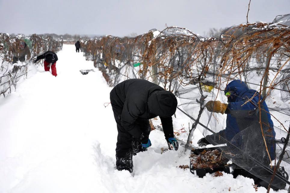 Сбор замороженного винограда
