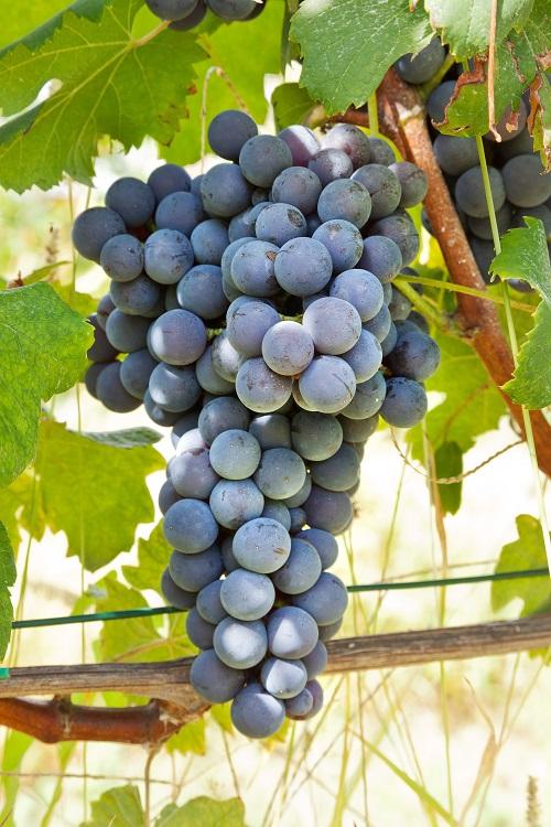 Сорт винограда Неббиоло