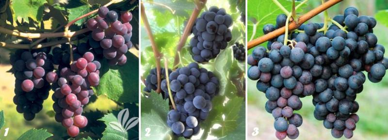 Сорта винограда США