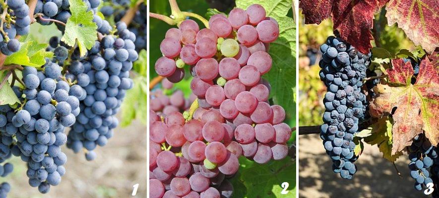 Сорта винограда США фото 2