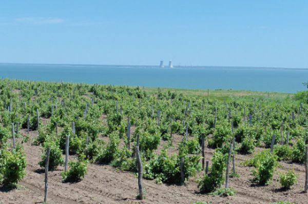 Виноградники в Ростовской области