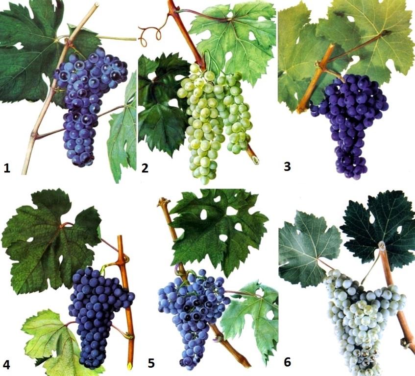 Российский виноград