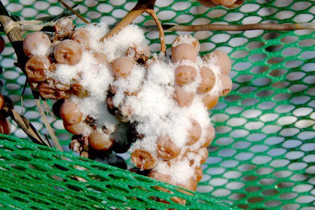 Виноград, замороженный на лозе